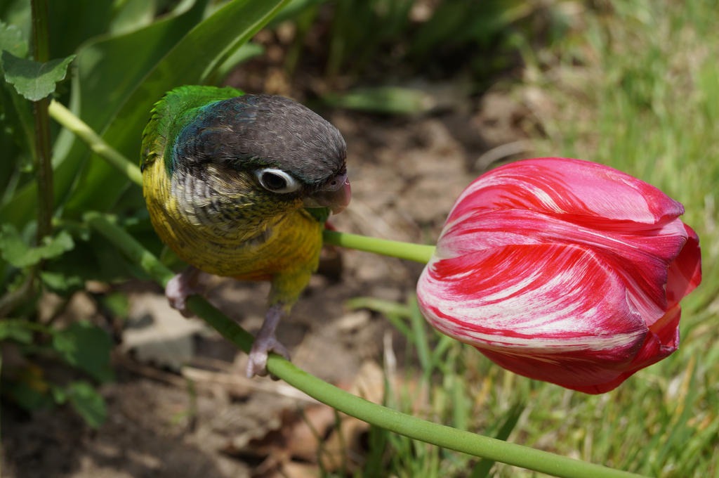 Tiny Tulip Comparison by shinigamisgem