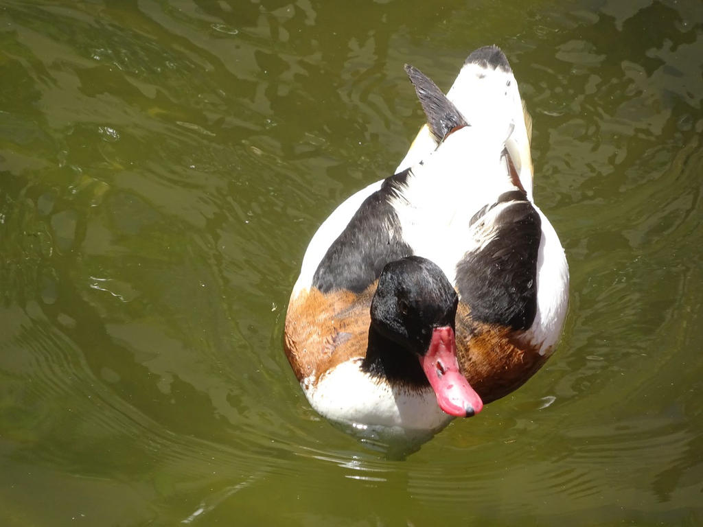 Tricolored Duck by shinigamisgem