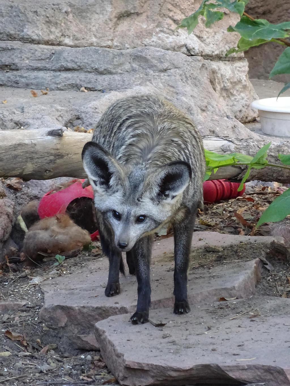 Bat earred fox by shinigamisgem