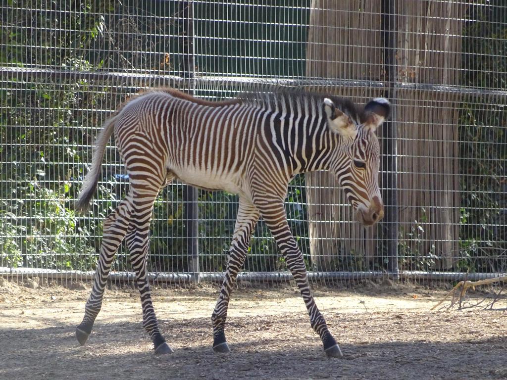 Baby Zebra by shinigamisgem