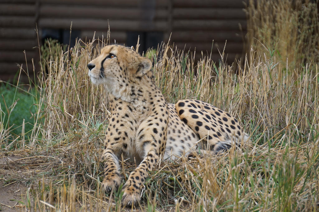 Cheetah Look by shinigamisgem