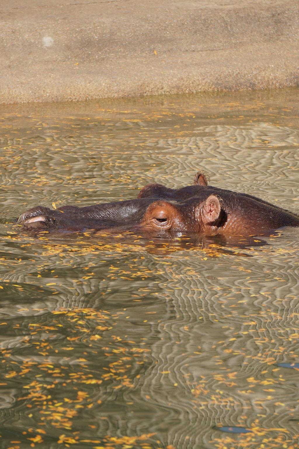 Hippo Lagoon by shinigamisgem