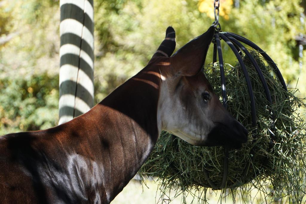 Okapi Feeding by shinigamisgem
