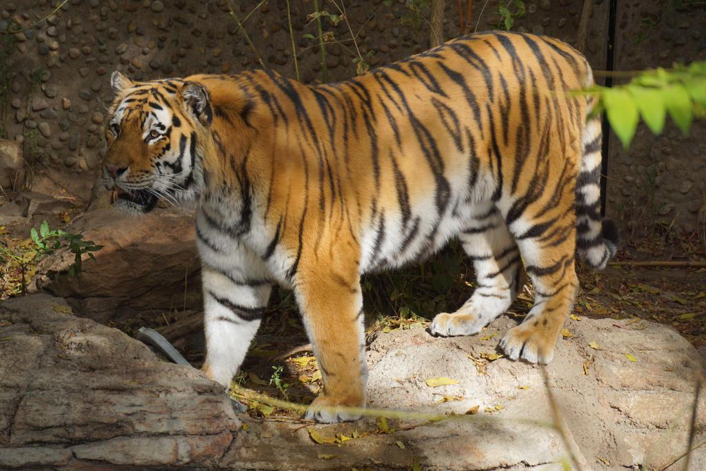 Tiger Look by shinigamisgem