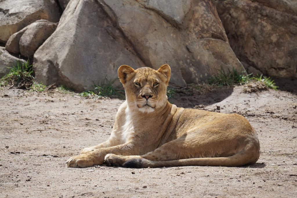 Lioness In The Sun by shinigamisgem