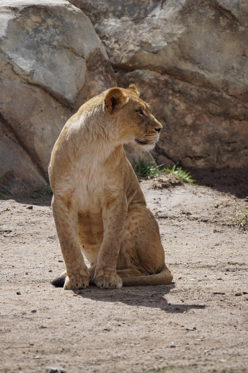 Inquisitive Lioness by shinigamisgem