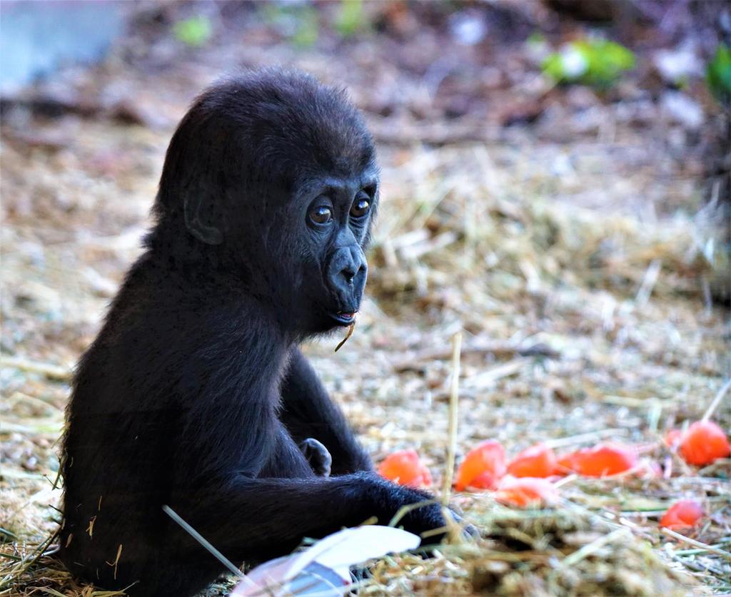 Baby Gorilla by shinigamisgem