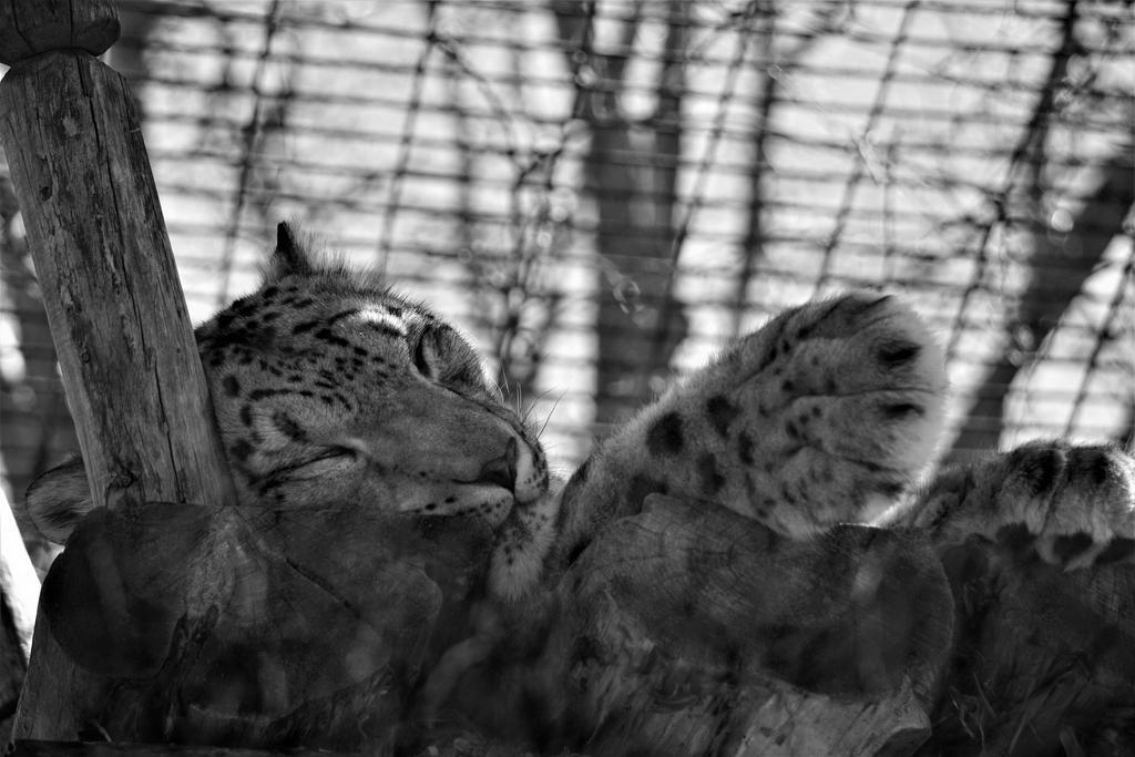 BW Snow Leopard by shinigamisgem