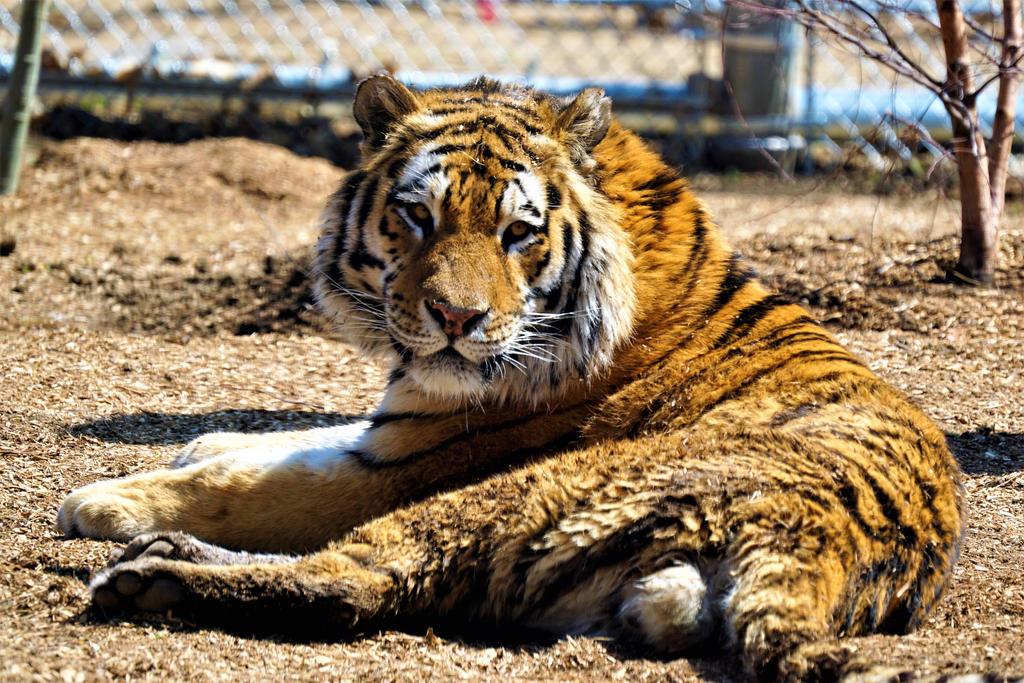 Dirty Tiger by shinigamisgem