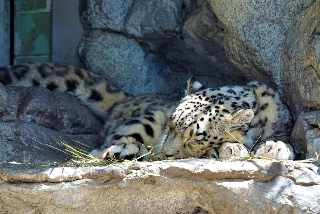 Snow leopard sleeping by shinigamisgem