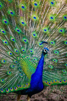 Prideful Peacock