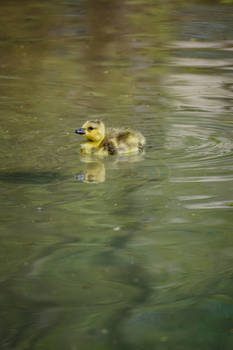 Little Baby Duckling