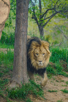 Big Lion Walking