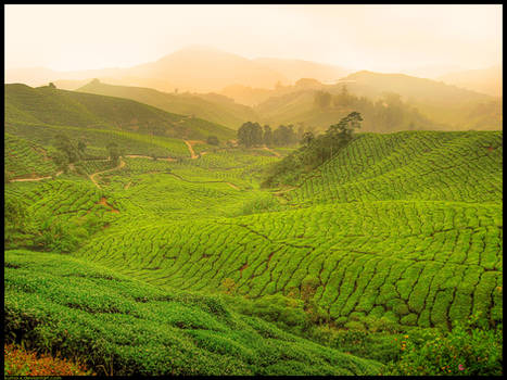 Fields Of Tea REVISITED