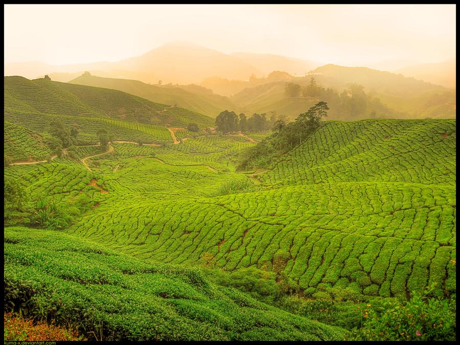 Fields Of Tea REVISITED by kuma-x