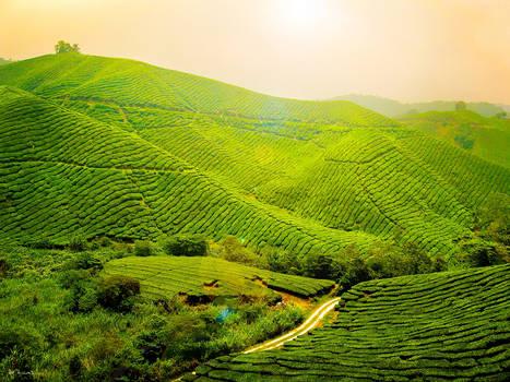 Tea Plantation - FOR SALE
