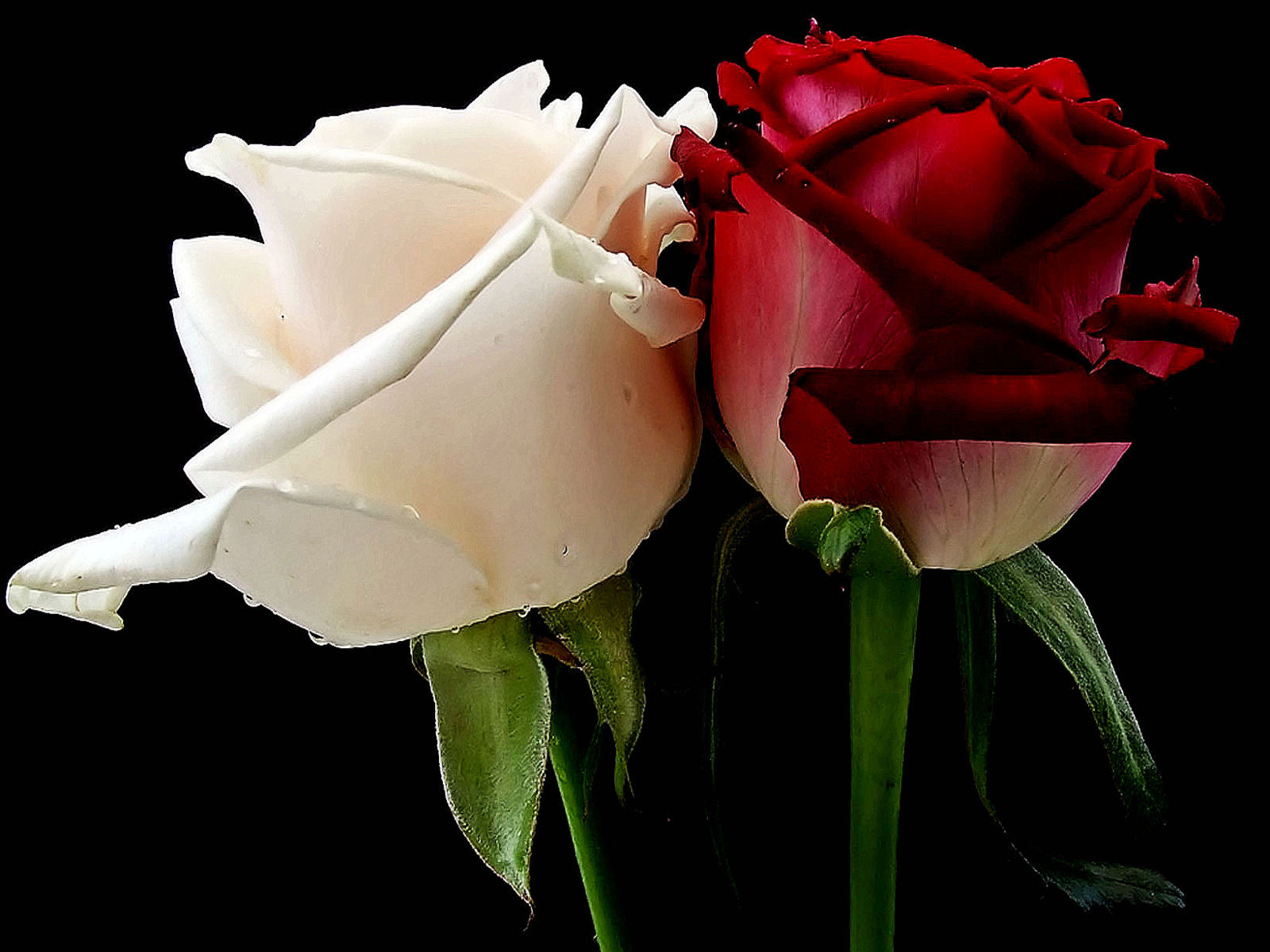Images Of Red And White Roses Images & Pictures - Becuo