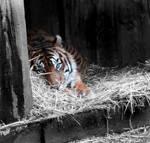 Tiger Tiger.
