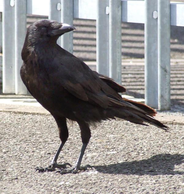 Crow by struckdumb