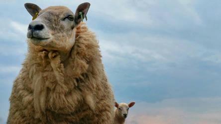 Sheep by struckdumb