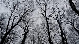 Deadened Woods