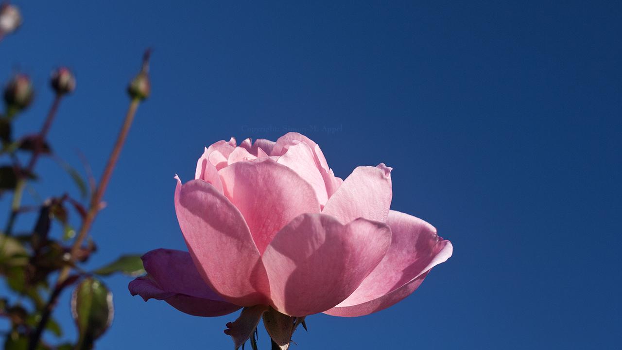 Rose and a blue Sky by Rasgonras