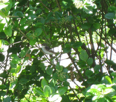 Pied flycatcher in bush