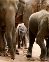 Elephants I by SandraSfeirova