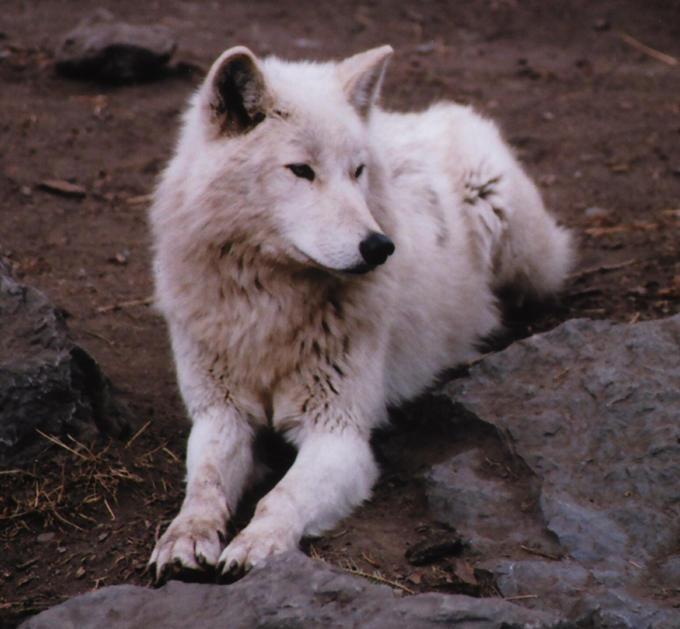 http://fc08.deviantart.net/fs9/i/2006/063/0/a/White_wolf_by_thylobscene.jpg