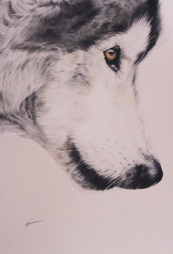 Grey Wolf by RobynTrower