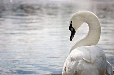 Stop looking at me SWAN by shadowcon
