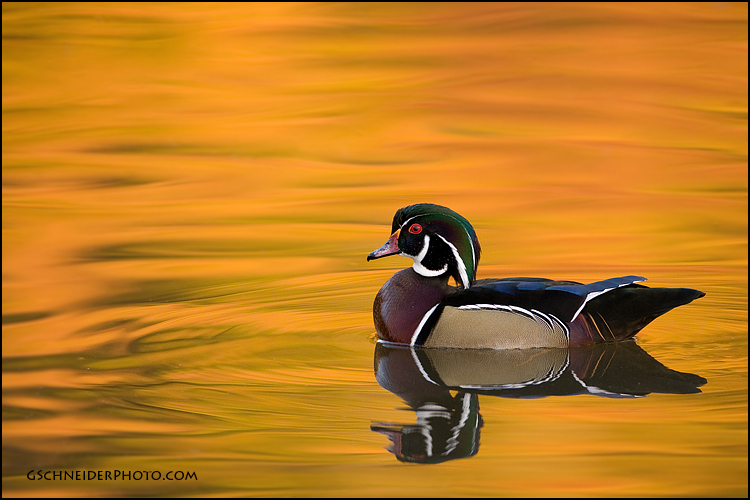 Wood duck reflections
