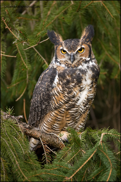 Tenebris Great_horned_owl_by_gregster09
