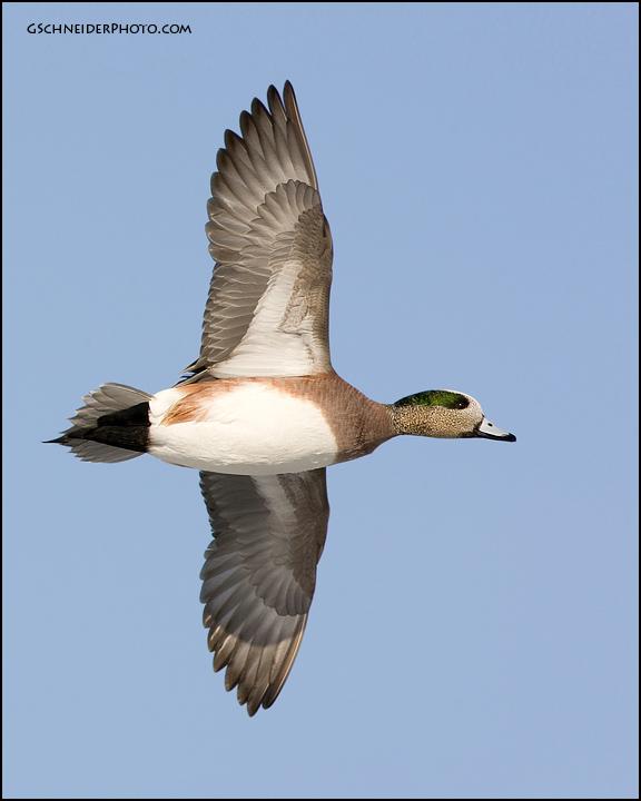 American Wigeon in flight