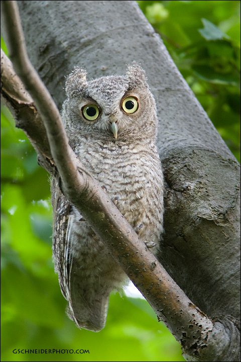 Eastern Screech Owlet by gregster09 on DeviantArt