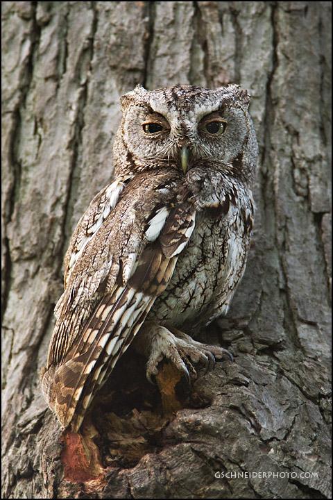 Eastern Screech Owl camoflauge
