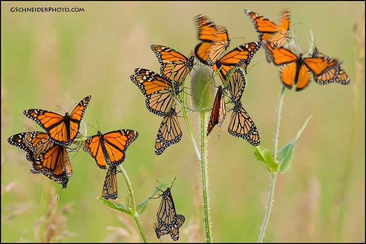 Monarch butterfly roost