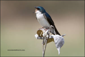 Tree swallow calling by gregster09