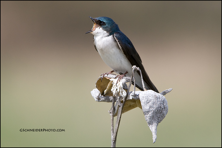 Tree swallow calling
