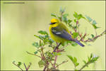 Blue-Winged Warbler by gregster09