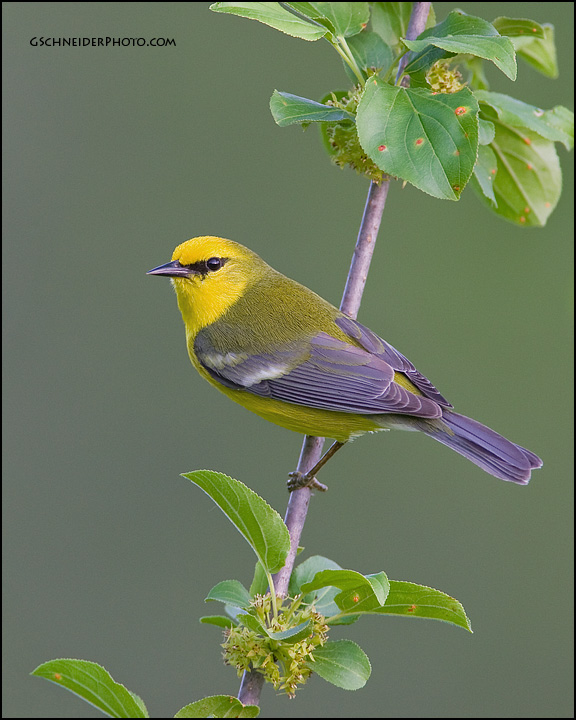 Blue-Winged Warbler's profile