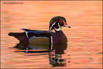 Wood Duck male on pink