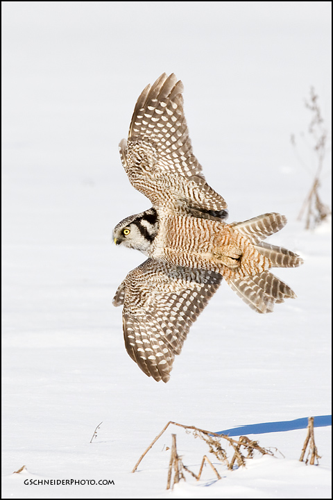 Northern Hawk Owl banking by gregster09