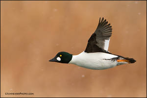 Common Goldeneye in snow by gregster09