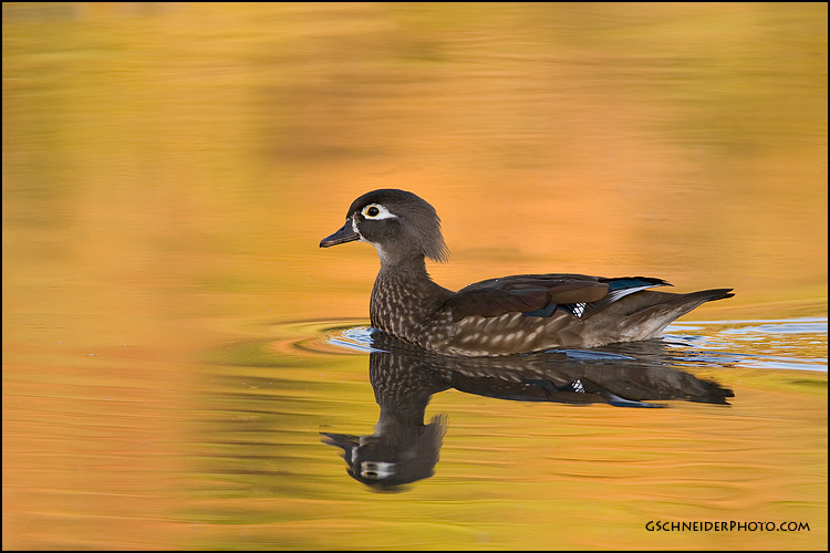 Wood Duck hen by gregster09
