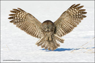 Great Gray Owl incoming by gregster09