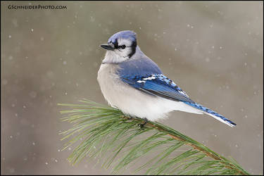 Blue Jay in the snow by gregster09