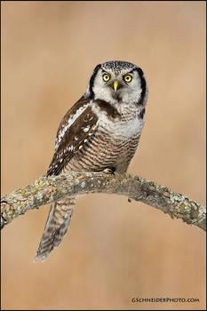 Northern Hawk Owl perched