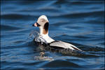 Long-Tailed Duck surfacing