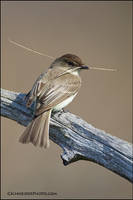Eastern phoebe + nest material by gregster09
